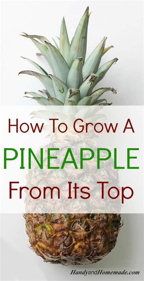 grow  pineapple plant   top pineapple