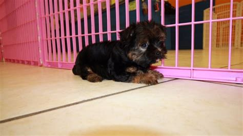 yorkie tzu puppies for sale sweet yorkie tzu puppies for sale in ga at puppies for sale local breeders