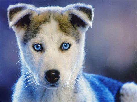 husky puppies las vegas siberian husky puppies las vegas