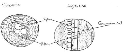 transverse section of xylem and phloem drawing xylem phloem