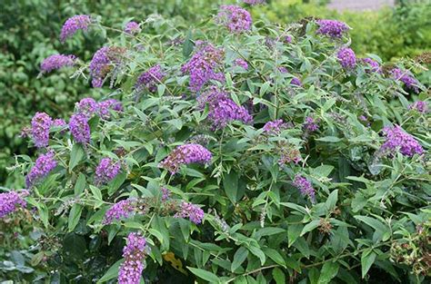 Flowering Shrubs For Small Gardens Butterfly Bush Butterfly Bush And Butterflies On
