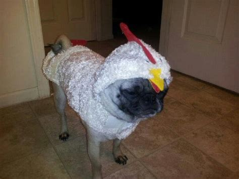 chicken pug pug in a chicken costume pugs chicken costumes pug and costumes