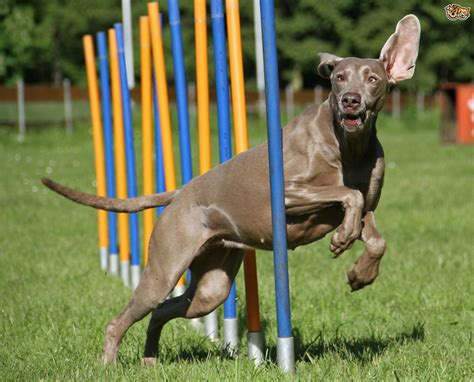 puppy agility a explanation of agility equipment pets4homes