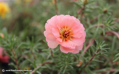 rosary from flowers moss pictures portulaca flower pictures