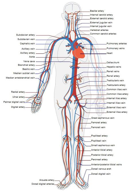 what color are arteries circulatory system problems symptoms of poor circulation