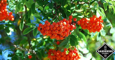 grow  rowan tree mountain ash gardening channel