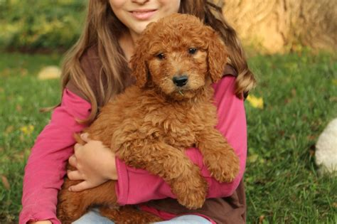 how much are goldendoodle puppies f1b puppies goldendoodles