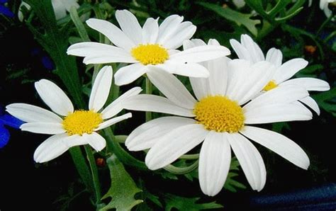 flower picture daisy flower 3 white daisy flowers