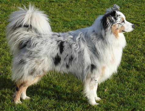 best food for australian shepherd puppy australian shepherd breeders puppies and breed information