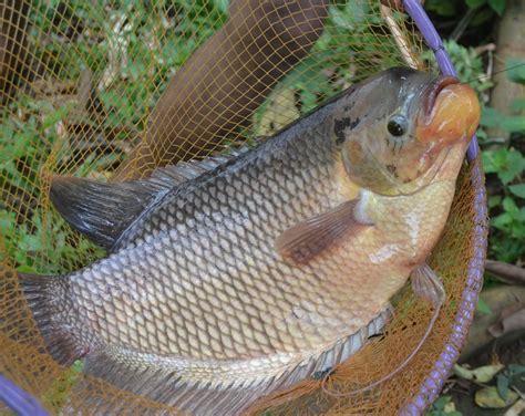 Harga Kolam Terpal Ikan Gurame cara budidaya ikan gurame lengkap baca disini