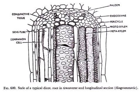 Longitudinal Section Of Stem by Structure Of Root With Diagrams