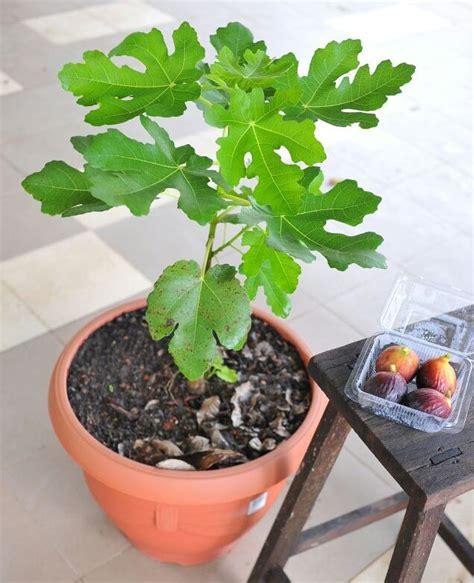 pokok buah tin tinggi pokok 60 cm 无花果树 logon shopping malaysia