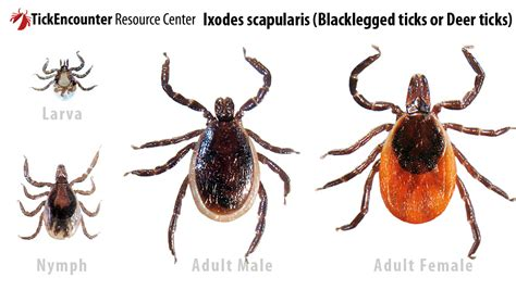 deer tick on tickencounter resource center gt tick identification gt ixodes scapularis blacklegged
