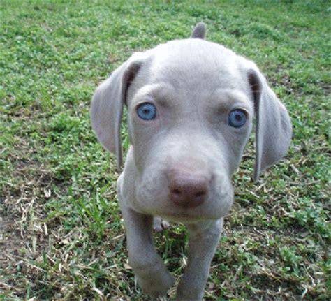 weimeraner puppies weimaraner puppies graphics and comments
