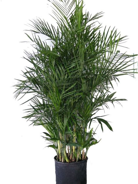 1000 ideas about bamboo palm on pinterest humidifier dracaena plant and bamboo care