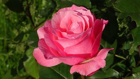 bloemen liefde gratis foto rozen bloemen rode roos liefde gratis