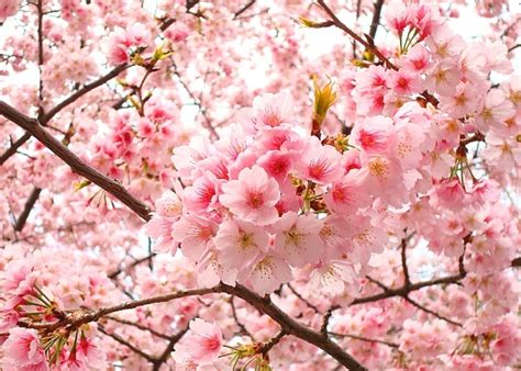 wallpaper bunga sakura cantik gambar bunga sakura jepang indah cantik gambar kata kata