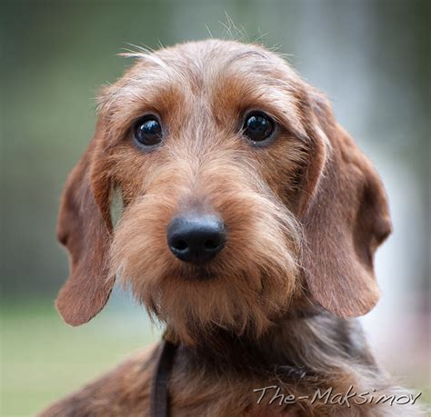 hair weiner best 25 wire haired dachshund ideas on dachshund breed daschund and wire