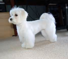 haircut ideas for hair dogs maltese dog haircuts styles pictures