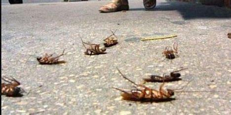 scarafaggi volanti lotta alle blatte disinfestazione a cagliari