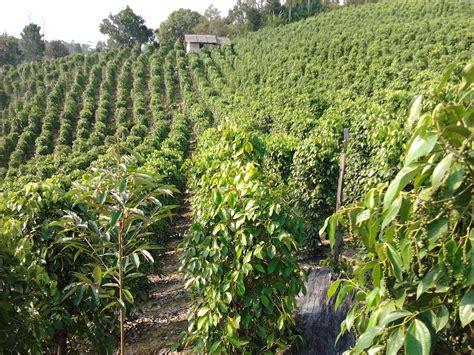 Bibit Jahe Merah Di Aceh jual bibit tanaman perkebunan jual bibit tanaman dan