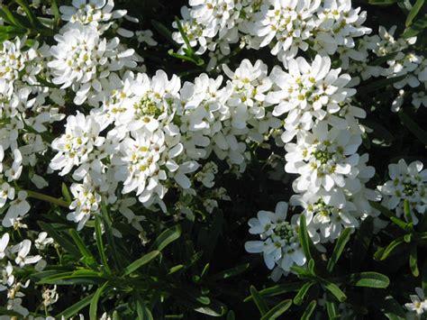 pianta invernale con fiori bianchi iberis sempervirens una pianta coraggiosa e semplice da