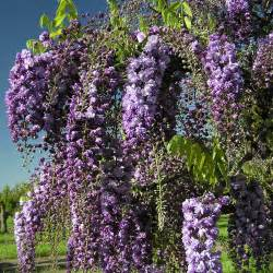 tree with purple flowers wisteria floribunda black purple wisteria trees climbers