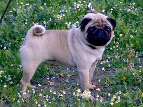 pug puppies for sale in indiana for sale in indiana beagle mix puppies for sale in indiana what book covers