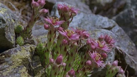 fiori di colore rosa fiori di montagna alpi europa rm clip 885 441 348 in