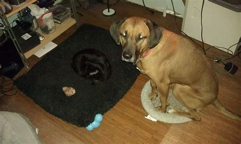 cats stealing dog beds 22 asshole cats who stole dog beds and didn t give a damn