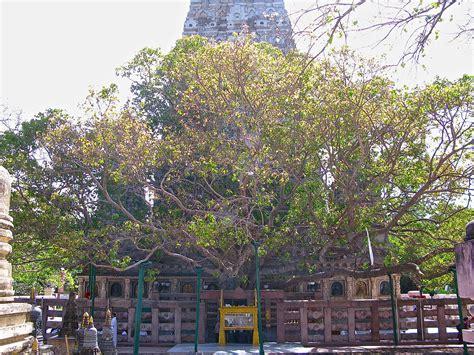 bodhi tree wikipedia