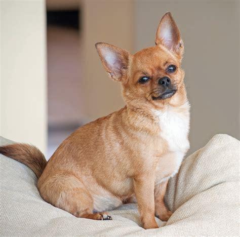 cani in appartamento cani da appartamento quali razze scegliere