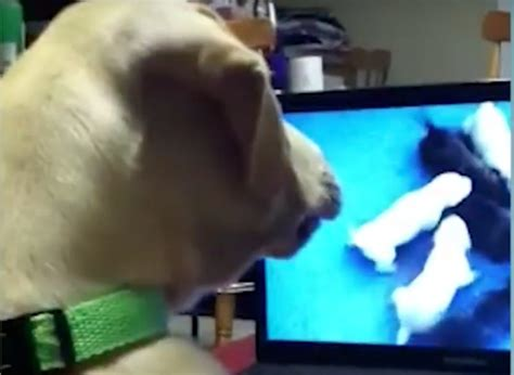puppy cams labrador has the best reaction to this puppy american kennel club