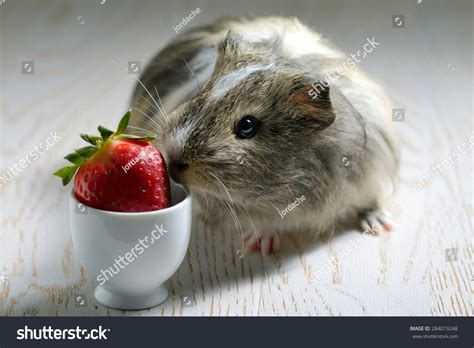 can pomeranians eat strawberries guinea pig strawberry stock photo 284019248