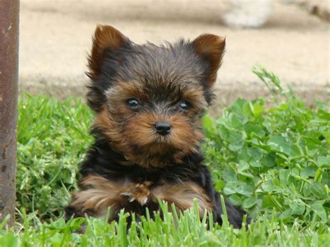 yorkie maltese poodle mix yorkie maltese morkie yorkiepoo puppies for sale is a maltese breeds picture