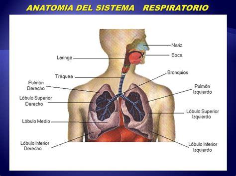 anatomia del sistema respiratorio sistema respiratorio anatomia funcional v 237 a a 233 rea