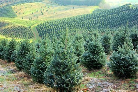 nc tree farms open this weekend asheville nc mountain travel tips