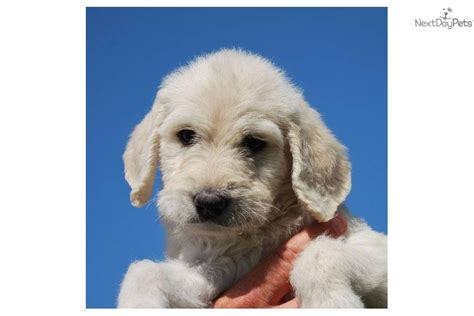meet cloud 9 a labradoodle puppy for sale for 1 200
