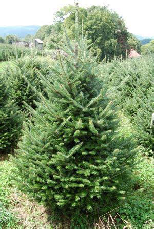 top 4 types of christmas trees 1 fraser fir