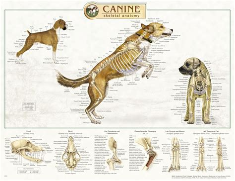 puppy anatomy animal anatomy on anatomy anatomy and skeletons