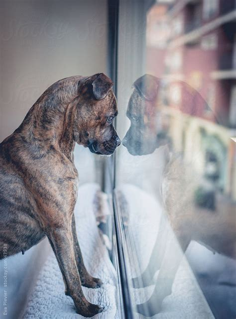 puppy in the window looking out the window by plevier stocksy united