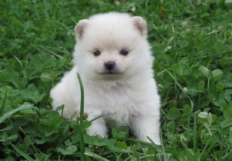 pomeranian puppies maine pomeranian puppies offer smart city