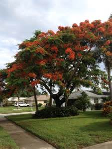 Garden Poinciana by Royal Poinciana Delonix Regia Specimen Tree For Your