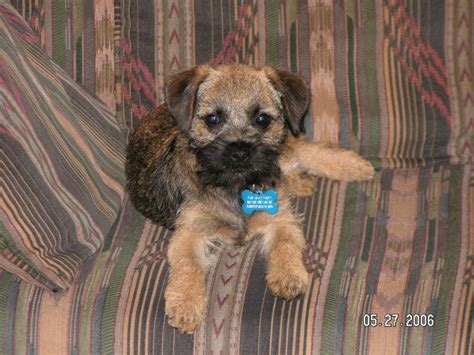 border terrier puppies border terriers images border terrier hd wallpaper and background photos 13687292