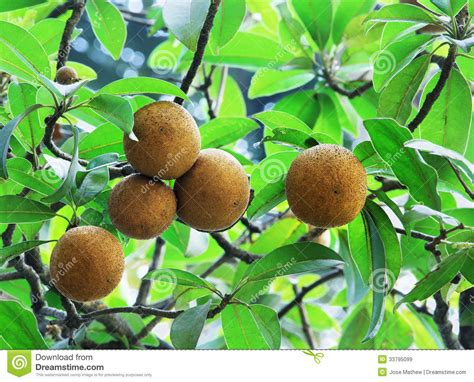 fruit trees names sapodilla fruits royalty free stock images image 33795099
