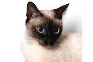 siamese fancy siamese cat colors