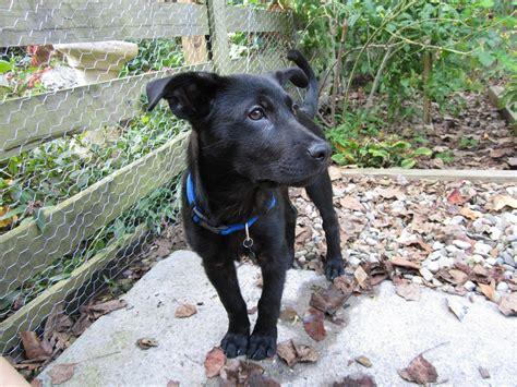 borador puppies borador border collie lab mix info puppies temperament pictures