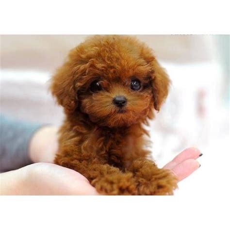 tea cup dogs 1000 ideas about teacup poodle puppies on poodles poodles and