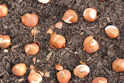 brent and becky s bulb blog quot plant bulbs and harvest smiles quot page 2
