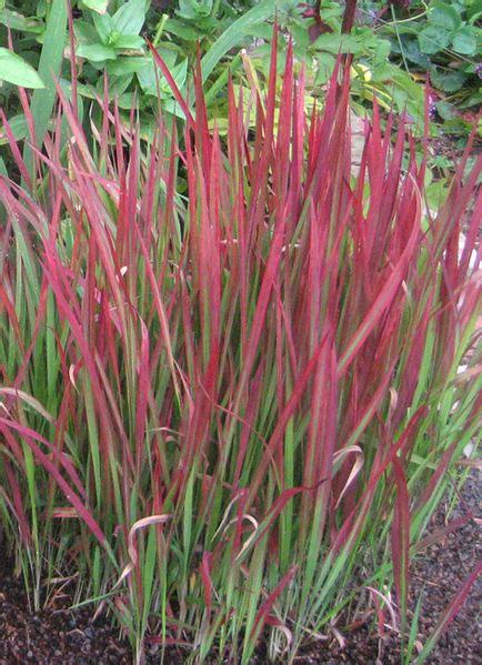japanische gräser japanische blutgras imperata cylindrica